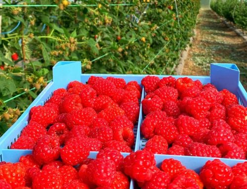 "In our new client case study: Berry farm ""Otbrani"" 🍓 saves 30% in water resources and increases yield with 20%"